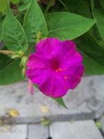 おしろい花.jpg
