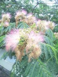 合歓の花.jpg