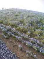 ネモファラの山.jpg